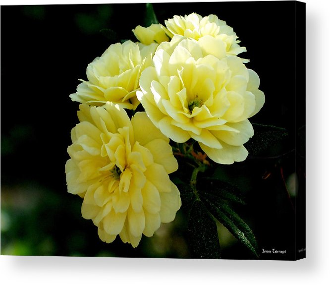 Nature Acrylic Print featuring the photograph Small Yellow Roses by Johann Todesengel