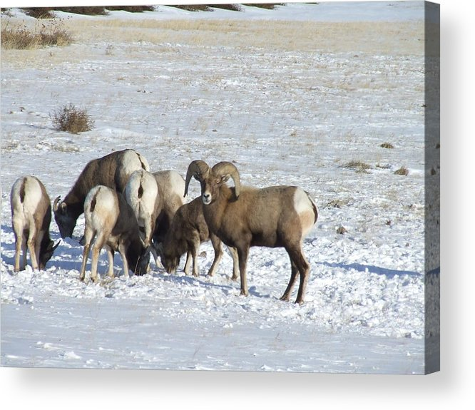 Wildlife Acrylic Print featuring the photograph Snow On The Hills by Dennis Wilkins