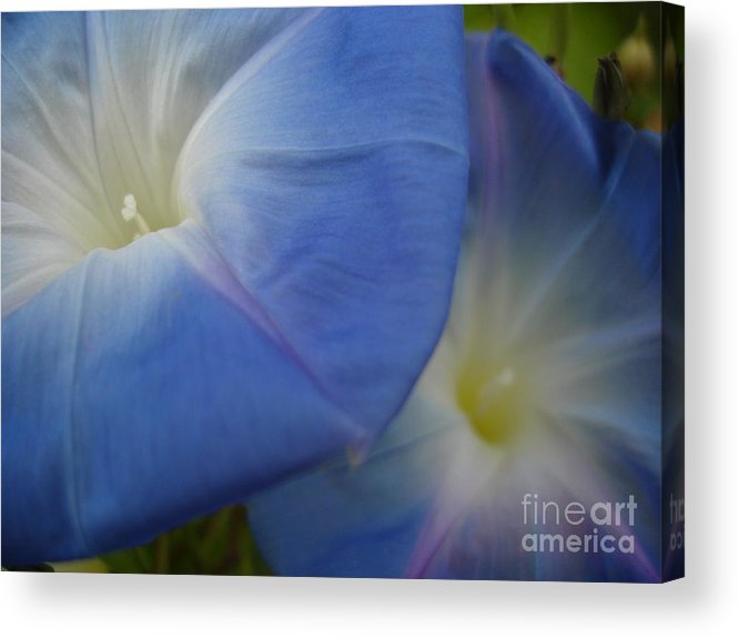 Flower Acrylic Print featuring the photograph Soft Morning Glory by Chad Natti