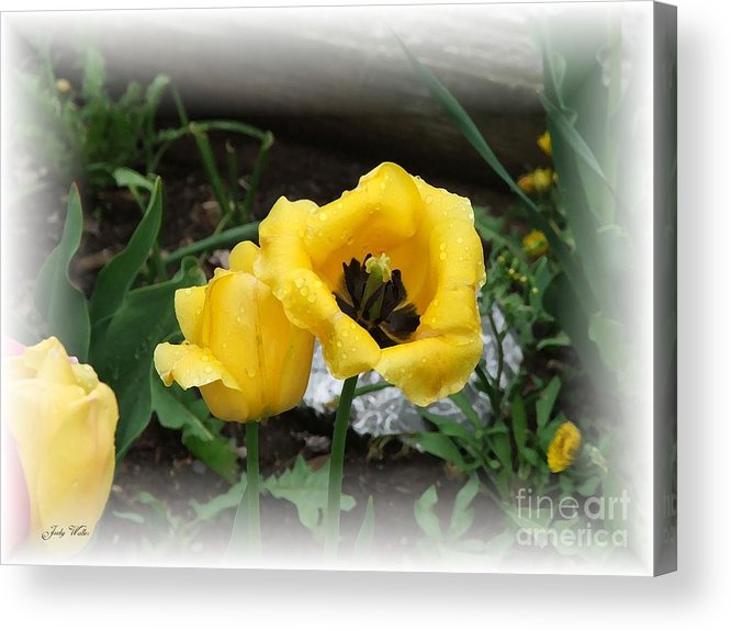 Yellow Acrylic Print featuring the photograph Soft Yellow by Judy Waller