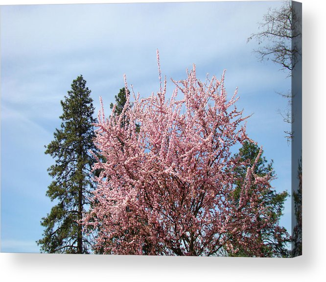Trees Acrylic Print featuring the photograph Spring Trees Bossoming Landscape Art Prints Pink Blossoms Clouds Sky by Baslee Troutman