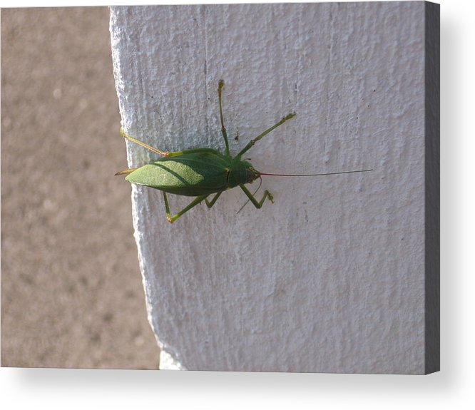 Green. Geen Bug Acrylic Print featuring the photograph Stopping By by Sandra Winiasz