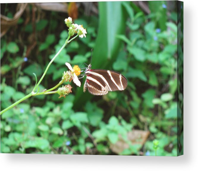 Nature Acrylic Print featuring the photograph Stripped Butterfly by Gloria Byler