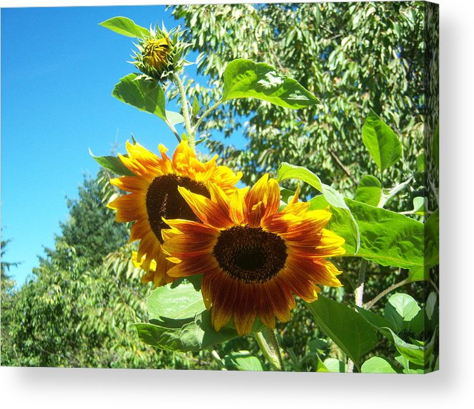 Sun Acrylic Print featuring the photograph Sunflower 106 by Ken Day
