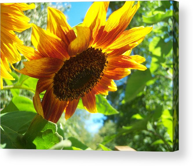 Sun Acrylic Print featuring the photograph Sunflower 119 by Ken Day