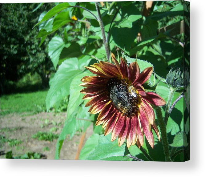 Sun Acrylic Print featuring the photograph Sunflower 134 by Ken Day