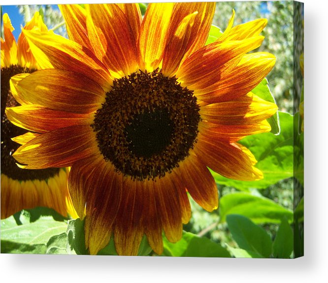 Sun Acrylic Print featuring the photograph Sunflower 141 by Ken Day