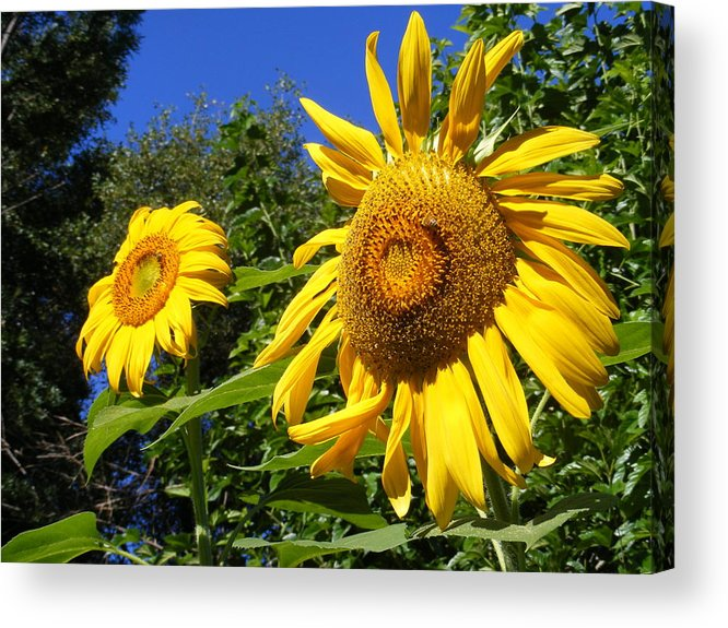 Sunflowers Acrylic Print featuring the photograph Sunflower Garden by Gail Salitui