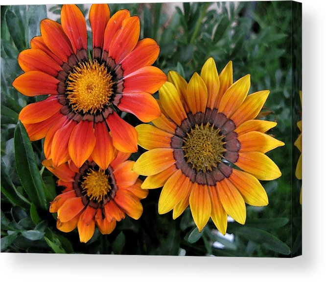 Flowers Acrylic Print featuring the photograph Surprise by Carol Sweetwood