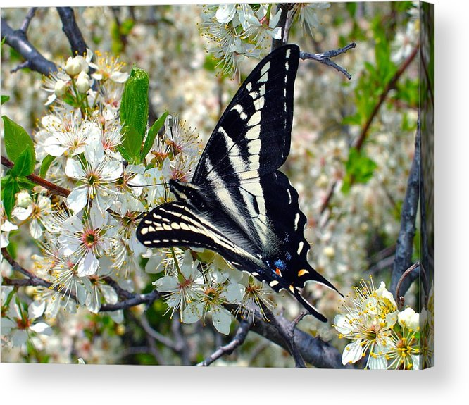 Butterfly Acrylic Print featuring the photograph Swallowtail And Plum Blossoms by Karon Melillo DeVega