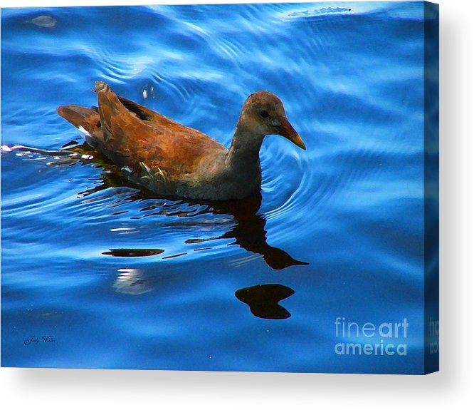 Waterfowl Acrylic Print featuring the photograph Swimming by Judy Waller