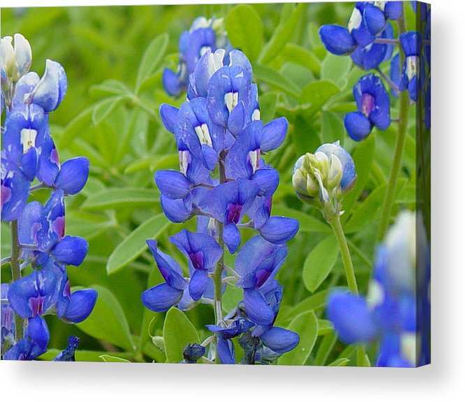 Flower Acrylic Print featuring the photograph Texas Bluebonnets by Terry Burgess