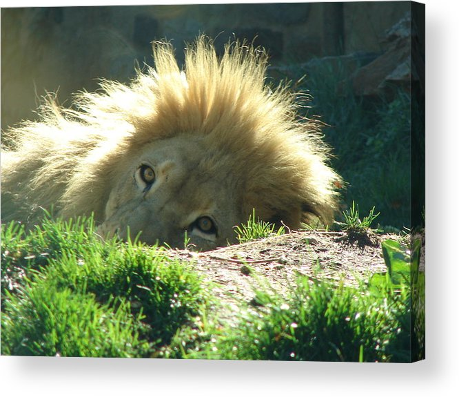 Lion Acrylic Print featuring the photograph The King Of The Jungle by Reel Shots