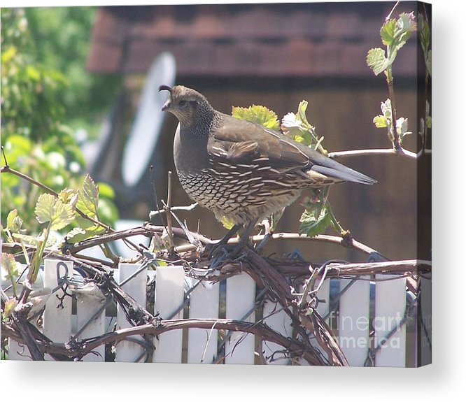 Quail Acrylic Print featuring the photograph The Mrs. by Karli Martin