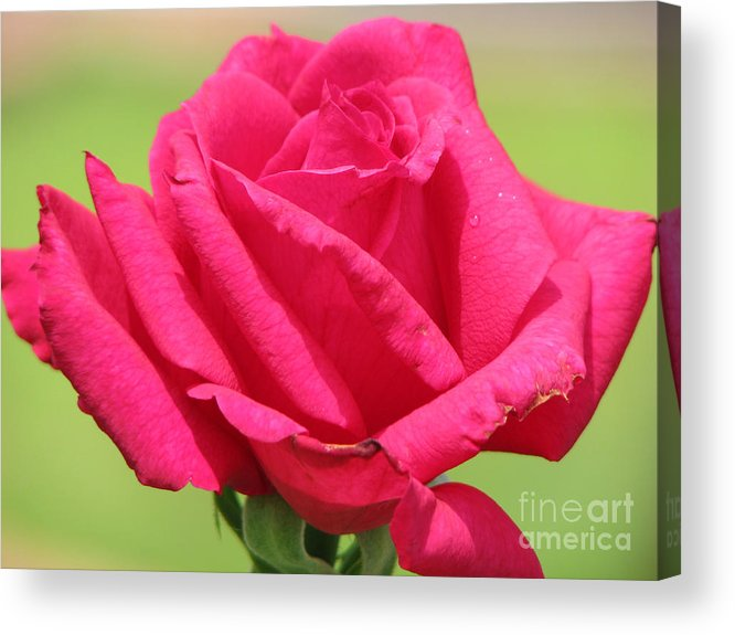 Roses Acrylic Print featuring the photograph The Rose by Amanda Barcon