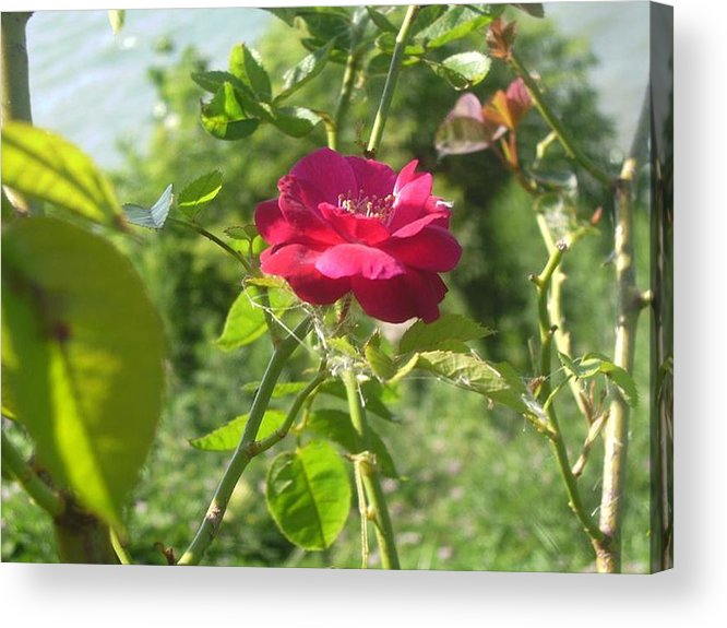 Rose Acrylic Print featuring the photograph The Rose by KC Dane