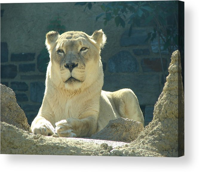 Lion Acrylic Print featuring the photograph The Sphinx by Reel Shots