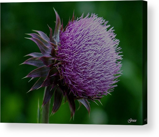 Thistle Acrylic Print featuring the photograph Thistle by Julie Grace