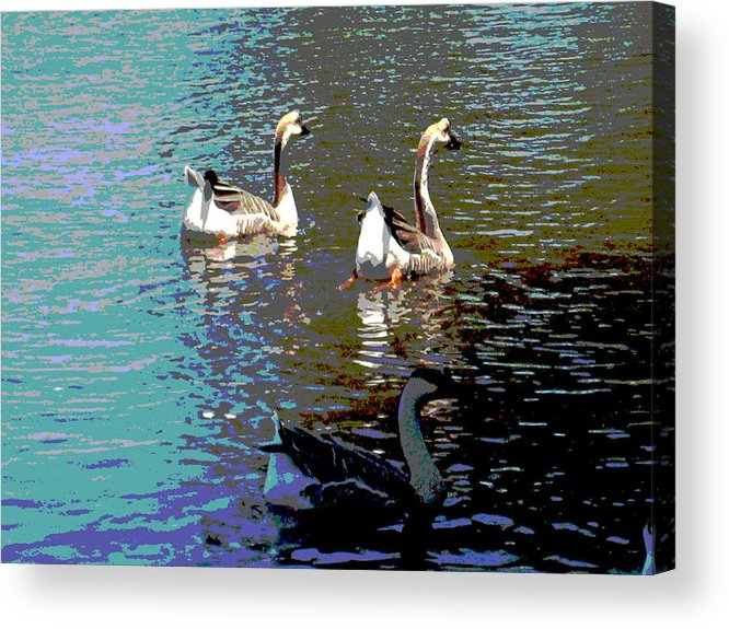 Wildlife Acrylic Print featuring the photograph Three Geese Swimming by Diann Baggett
