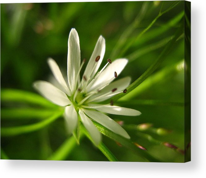 Tiny White Flower Acrylic Print featuring the photograph Tiny White Flower by Melissa Parks