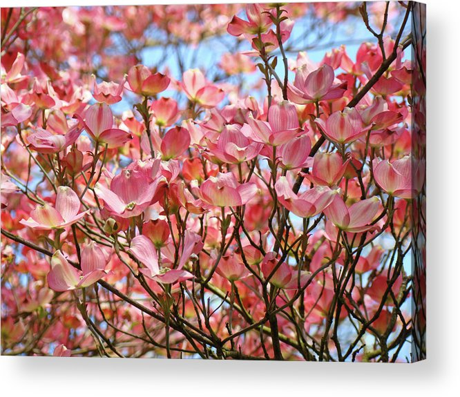 Dogwood Acrylic Print featuring the photograph Trees Pink Spring Dogwood Flowers Baslee Troutman by Baslee Troutman