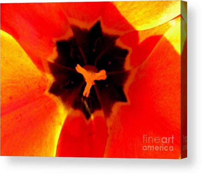Tulip Acrylic Print featuring the photograph Tulip Art by PJ Cloud