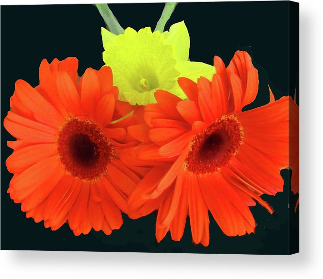 Daffodil Acrylic Print featuring the photograph Two Gerbers And Daffodil by Vijay Sharon Govender