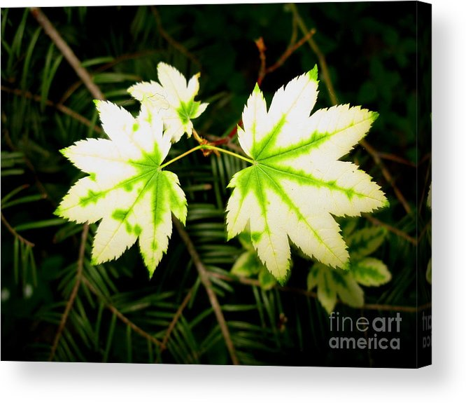 Plant Acrylic Print featuring the photograph Variegated Vine Maple by PJ Cloud