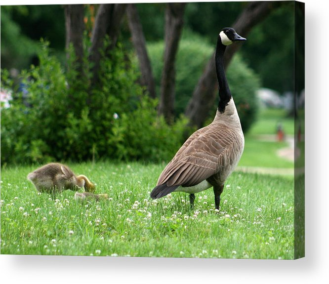 Goose Acrylic Print featuring the photograph Watchful Eye by David Dunham