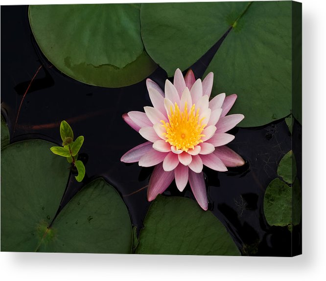 Water Acrylic Print featuring the photograph Waterlily - Study In Pink by Jim DeLillo
