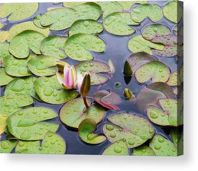 Water Lily Flow Age Acrylic Print featuring the photograph Watter Lily by Nereida Slesarchik Cedeno Wilcoxon