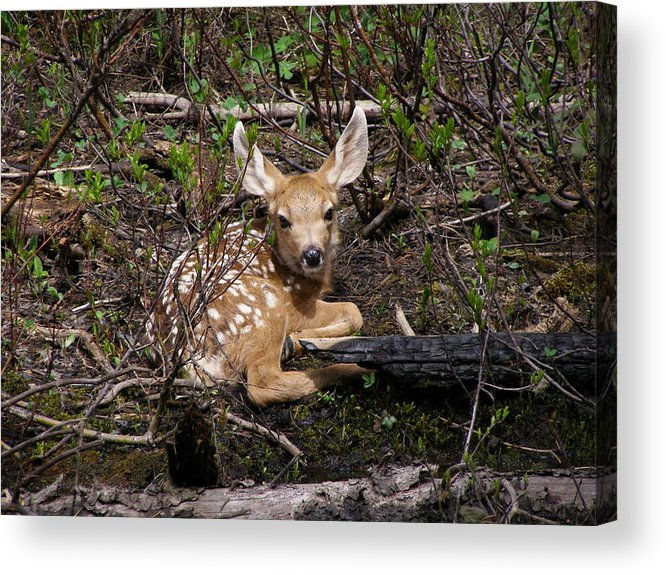 Deer Acrylic Print featuring the photograph Where Mother Said Stay by DeeLon Merritt