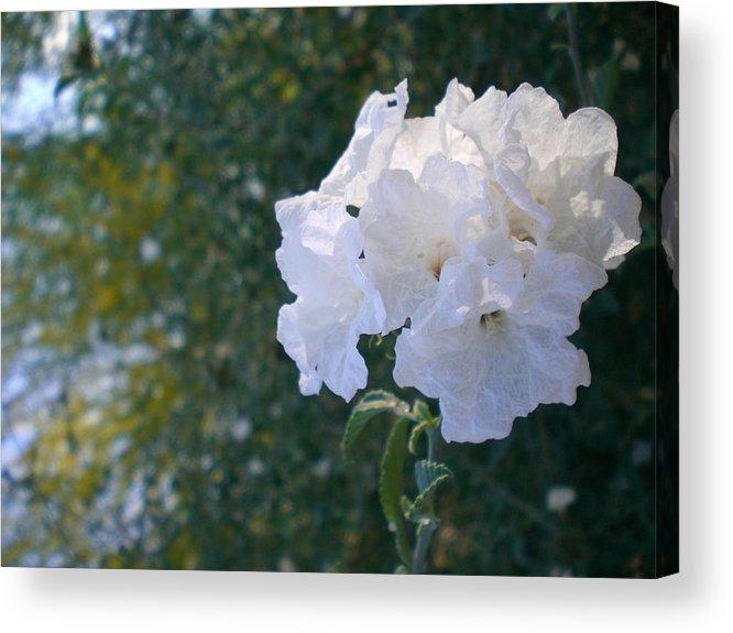 Flowers Acrylic Print featuring the photograph White Desert Flowers by Aleksandra Buha