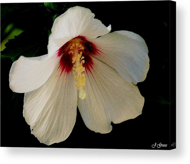 Flower Acrylic Print featuring the photograph White Hibiscus by Julie Grace