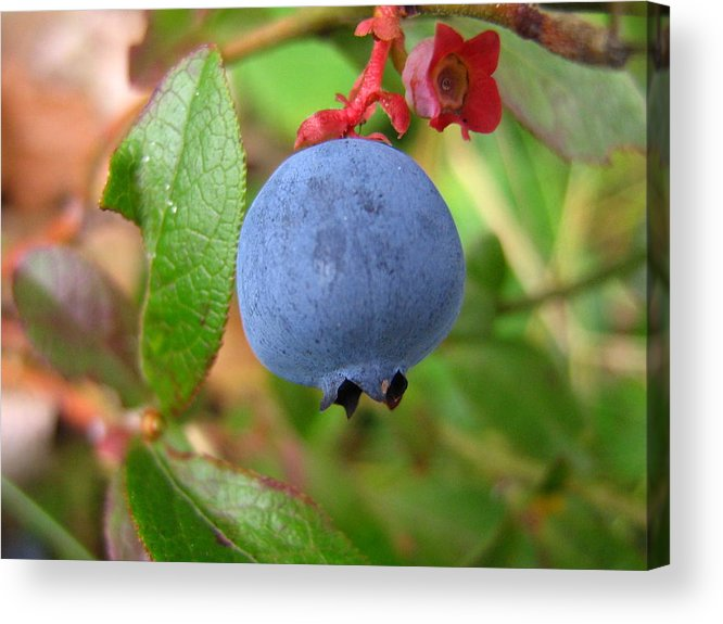 Blueberry Acrylic Print featuring the photograph Wild Blueberries by Melissa Parks