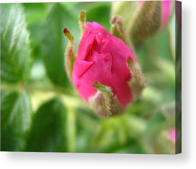 Rose Acrylic Print featuring the photograph Wild Rose Bud by Melissa Parks