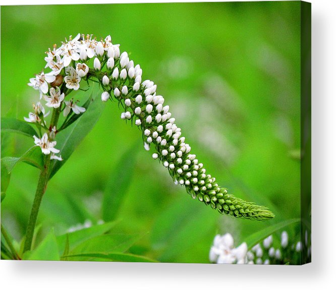 Wildflowers Acrylic Print featuring the photograph Wildflower Slide by Lori Pessin Lafargue