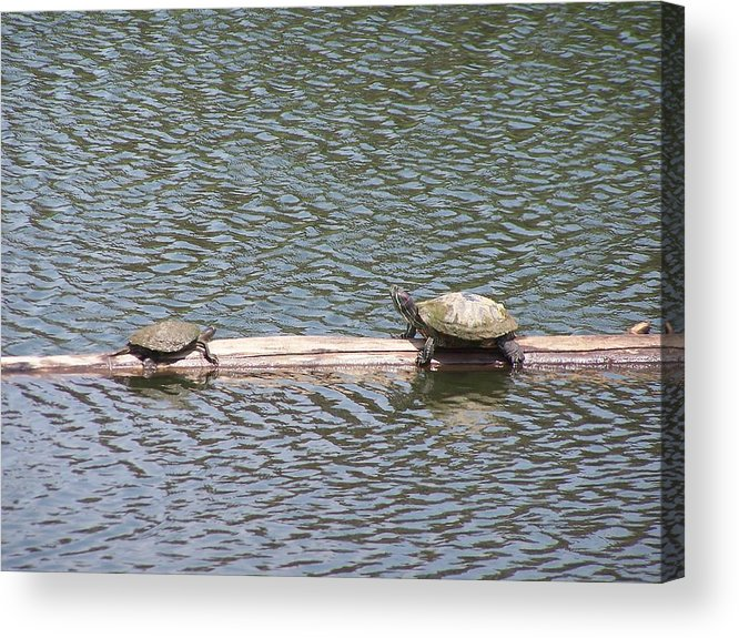 Turtles Acrylic Print featuring the photograph Wrong Way by Vijay Sharon Govender