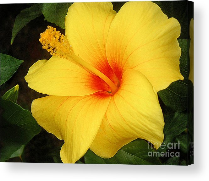 Nature Acrylic Print featuring the photograph Yellow Hibiscus by Lucyna A M Green