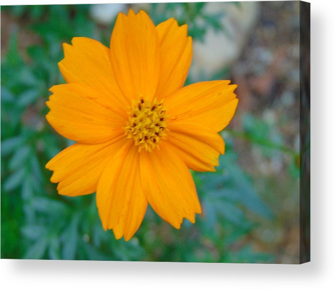 Flower Acrylic Print featuring the photograph Yellow by Karla Hoffman