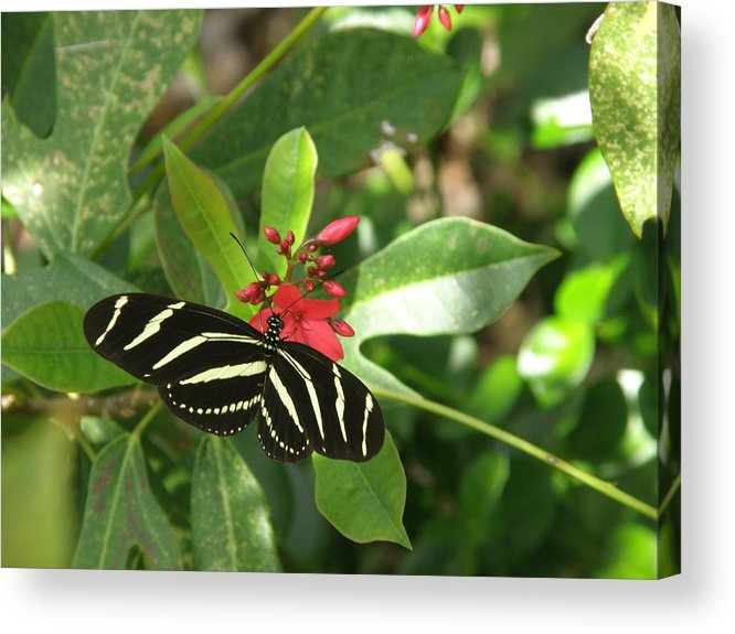 Zebra Acrylic Print featuring the photograph Zebra On The Wing by Mary Hurst