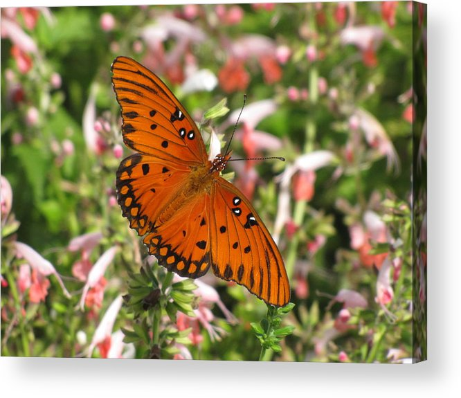 Natural Pattern Acrylic Print featuring the photograph Gulf Fritillary Aka Passion Butterfly by Daniela Duncan