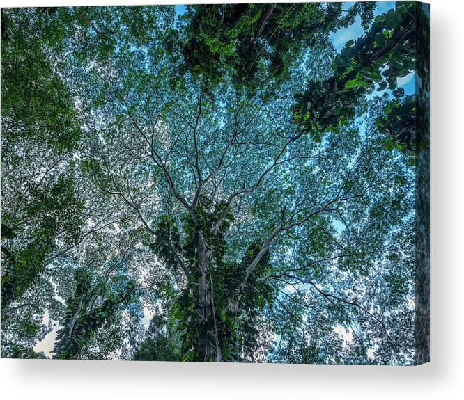 Beautiful Acrylic Print featuring the photograph Looking Up Into The Canopy Of Trees by Robert Postma