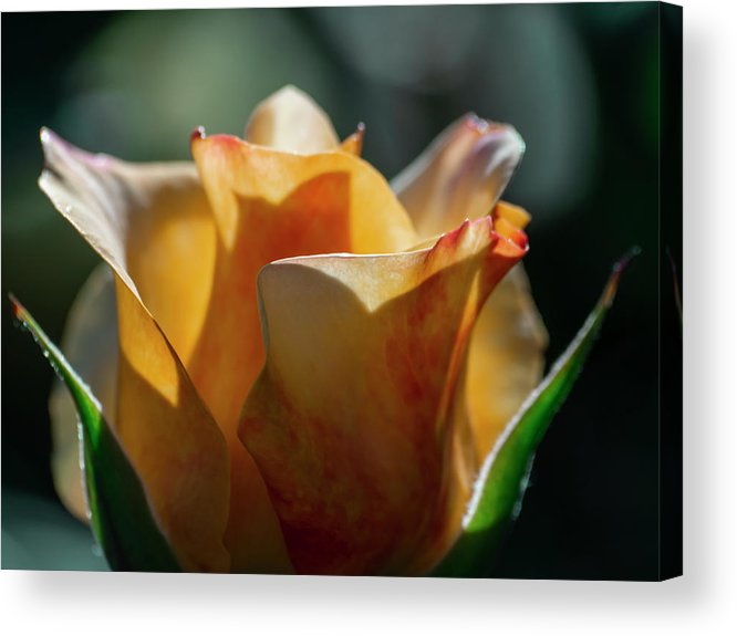 Aesthetic Acrylic Print featuring the photograph Nature - Amber Rose Vase Like by Arthur Babiarz