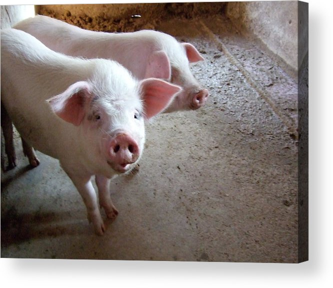 Pig Acrylic Print featuring the photograph Two Pigs by Shinichi.imanaka