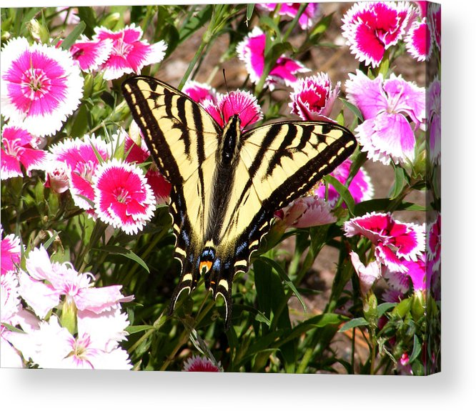 Butterfly Acrylic Print featuring the photograph Beautyfly In Pink by Gail Salitui