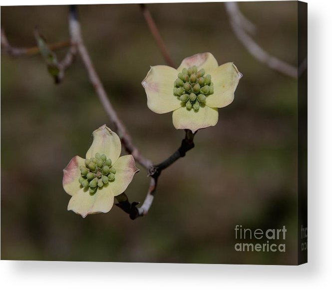 Dogwood Acrylic Print featuring the photograph Dogwood Blossoms by Cathy Lindsey