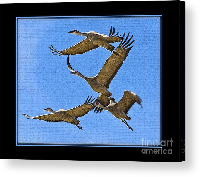 Bird Acrylic Print featuring the photograph Sandhill Cranes In Flight by Larry White