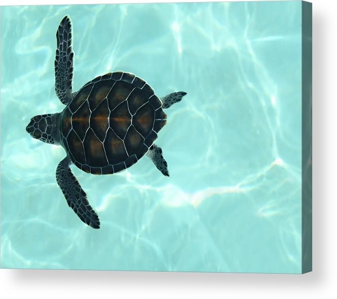 Baby Sea Turtle Acrylic Print featuring the photograph Baby Sea Turtle by Ellen Henneke
