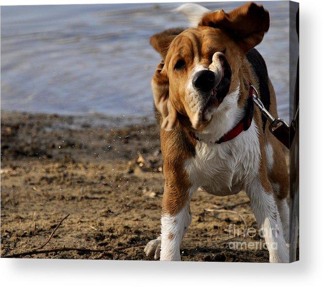 Beagle Acrylic Print featuring the photograph Beagle Shake by Kristine Celorio